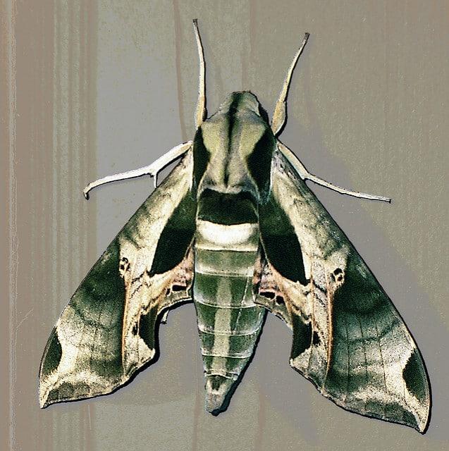 pandorus sphinix moth