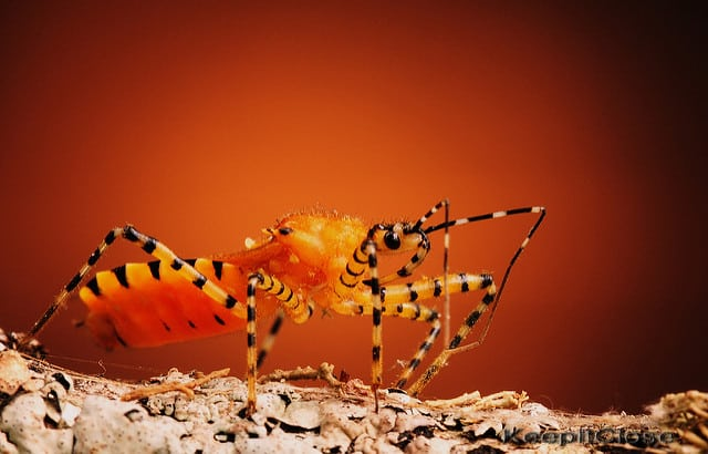 orange assassin bug