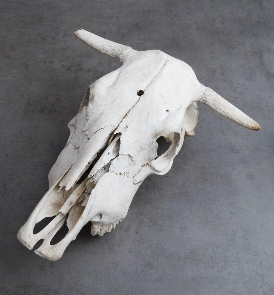 whitened cow skull