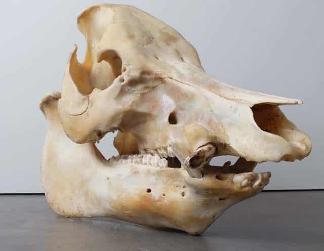 boiled pig skull