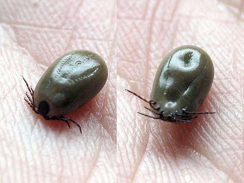 Engorged ticks after removal