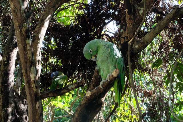 parrot in jungle of Peru