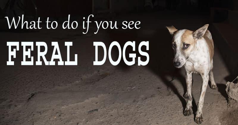 feral dog attack