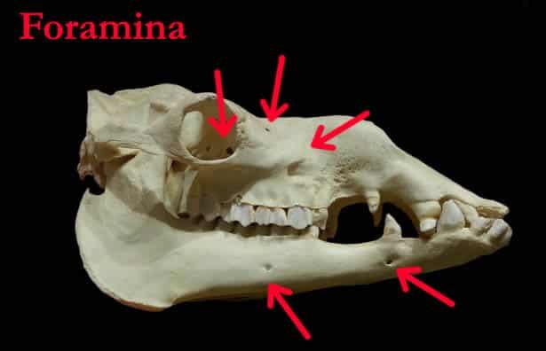 foramina of the skull