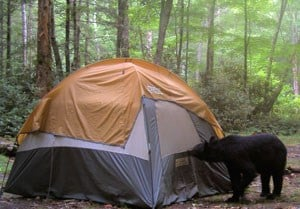 bear searching for food in a tent
