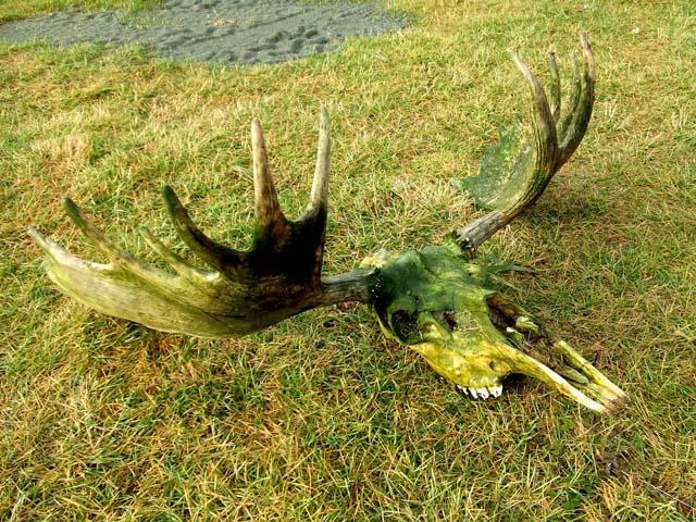 very dirty antlers