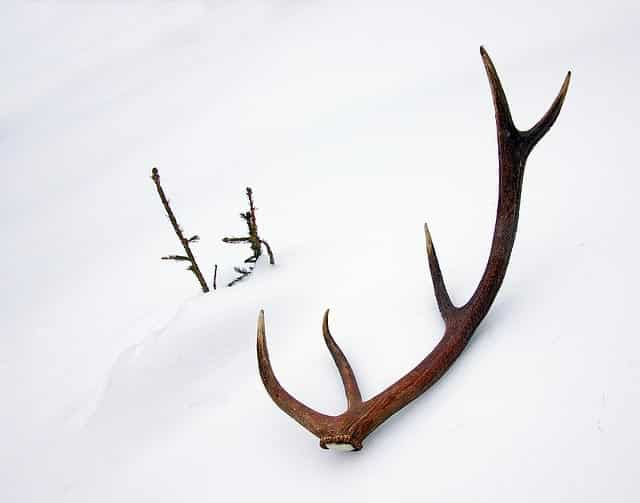 antlers in snow