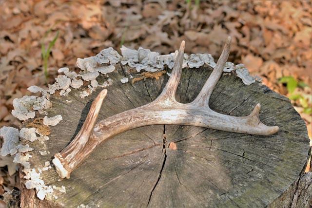 shed deer antler
