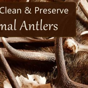 how to clean preserve antlers