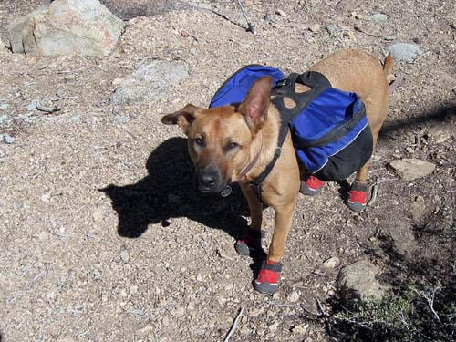hiking dog in booties
